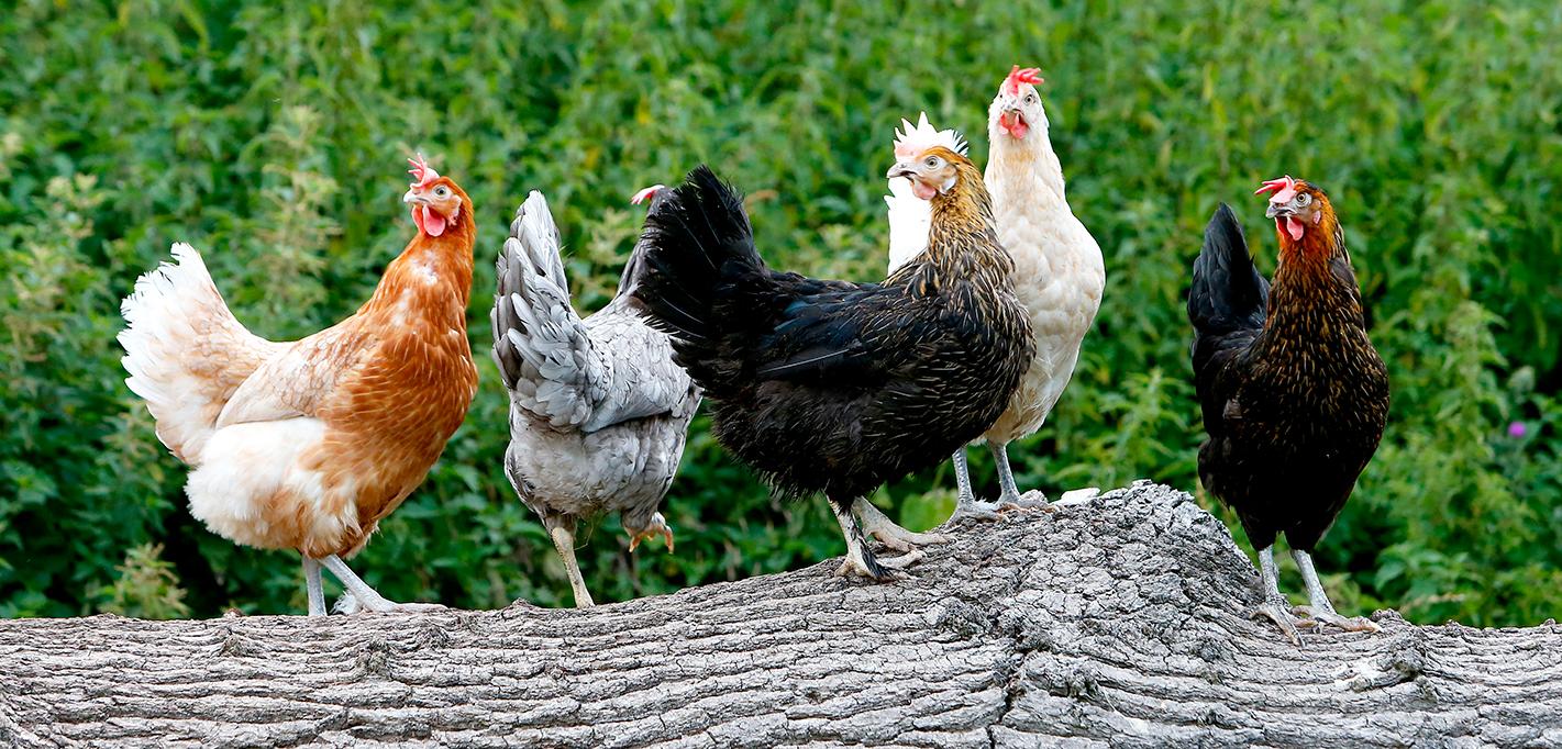 group of hens outside on fallen tree