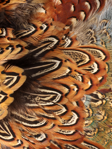 close-up detail image of pheasant feathers