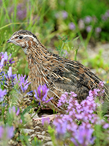 Quail outside in purple flowers
